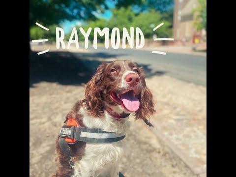 """raymond""-english-springer-spaniel-|-owner-testimonial"