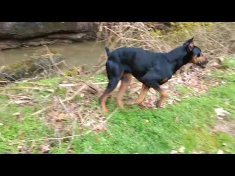 Doberman In Hot Pursuit