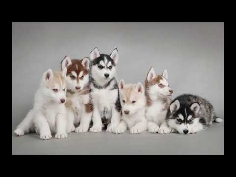 Siberian Husky Dog | Information About the Siberian Dog Breeds
