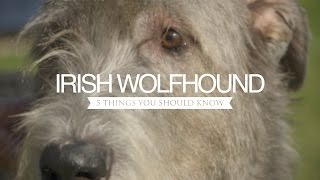 IRISH WOLFHOUND FIVE THINGS YOU SHOULD KNOW