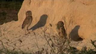 Burrowing Owls, Aruba