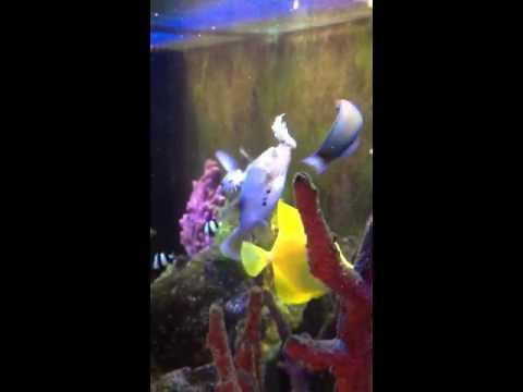 Puffer eating goldfish