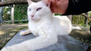 美しい白猫に対抗するために、お腹を見せて甘えてくるキジトラ猫