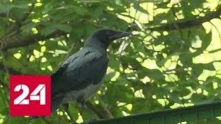 Ворона атаковала москвичку: почему птицы становятся опасными - Россия 24