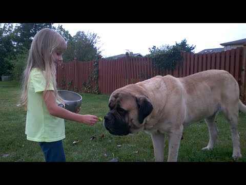 Mastif angielski: charakter, pielęgnacja i predyspozycje do chorób