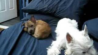 Cairn Puppy & Westie Puppy Nap Time Ends