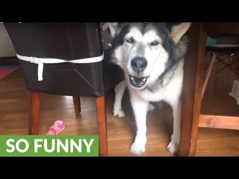 Alaskan Malamute howls in protest of sharing his food