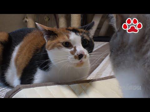 しぴ、三毛猫を殴る【瀬戸の猫部屋日記】Chipie slapped at calico cat
