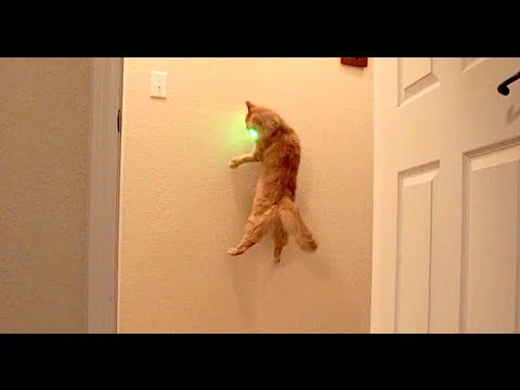 Cat chasing green laser pointer