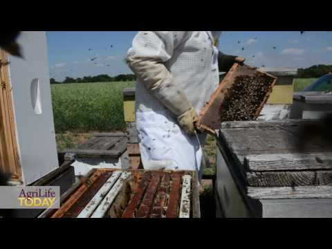New A&M sweet clover variety – Silver River Sweet Clover – paradise for pollinators