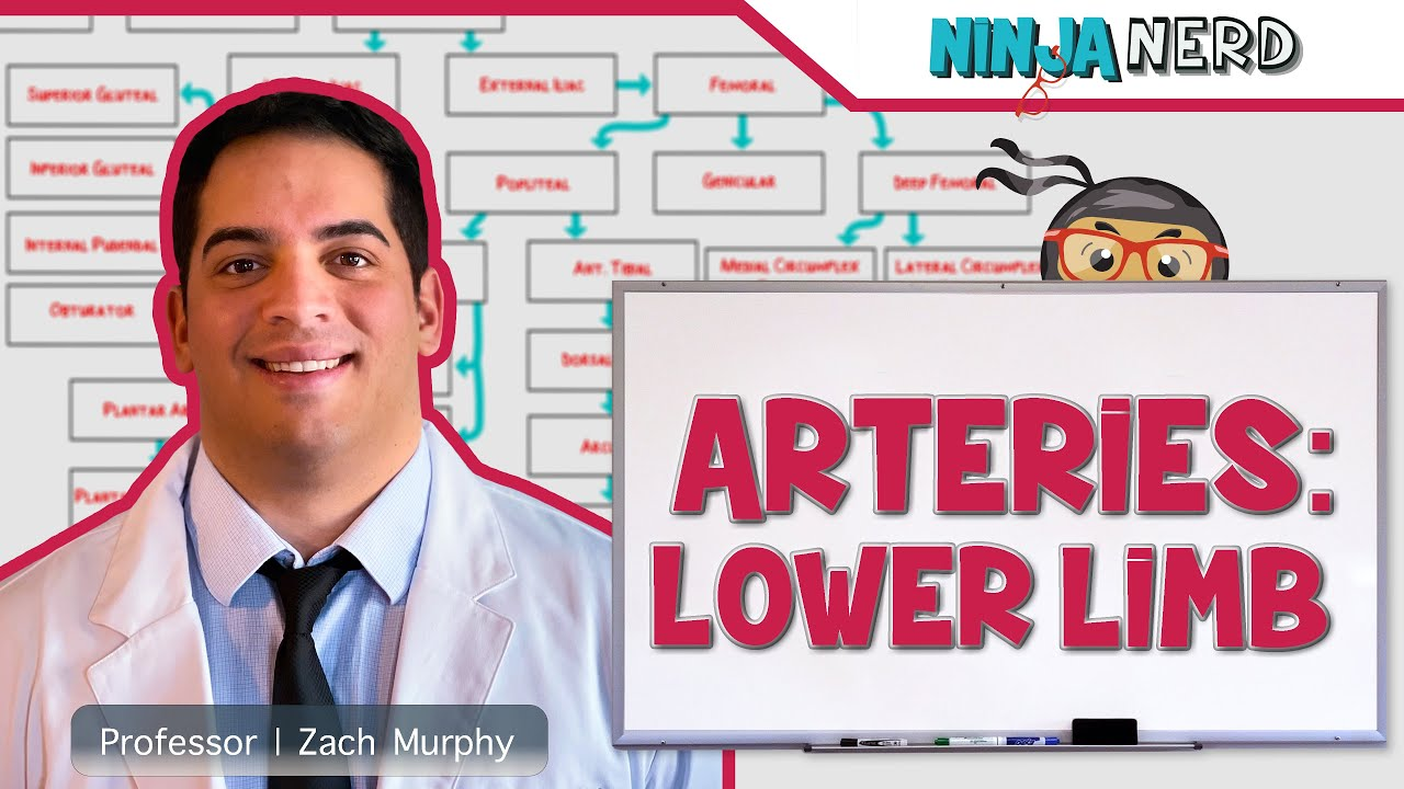 Circulatory System | Arteries of the Lower Limb | Flow Chart - YouTube