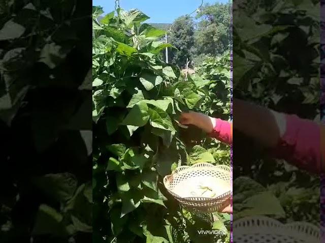 Kabuklu fasulye nasıl yapılır?