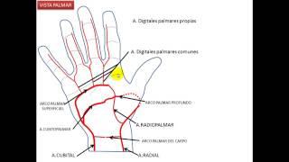 Pulsante de izquierda mano arteria la