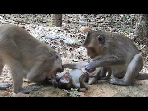 Cruelty Monkeys Bite and Drag Baby Poor Monkey. MV 0042 Wild monkey