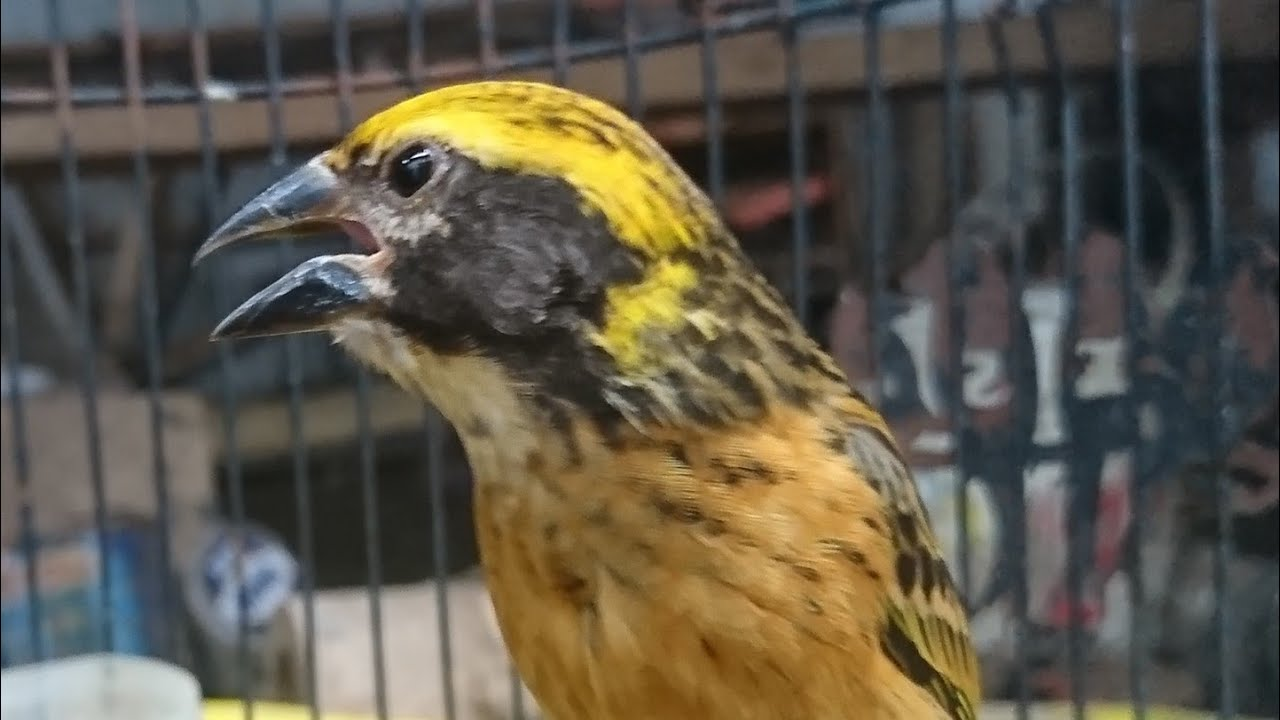 Pancing Suara Semua Jenis Burung Manyar Kepala Emas Youtube