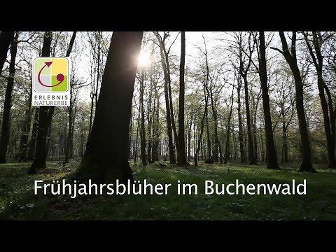 Frühjahrsblüher im Buchenwald - Erlebnis Naturerbe im Kreis Coesfeld
