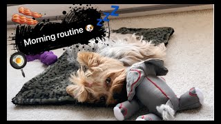 Morning routine with my Yorkie