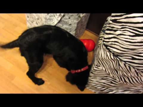 Black Lab/Aussie Shepherd mix playing with toy.