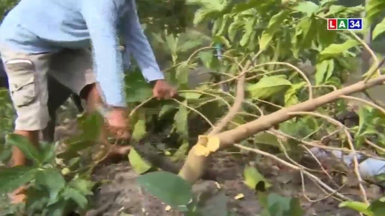 Nông dân lao đao vì… trái nhàu | LONG AN TV