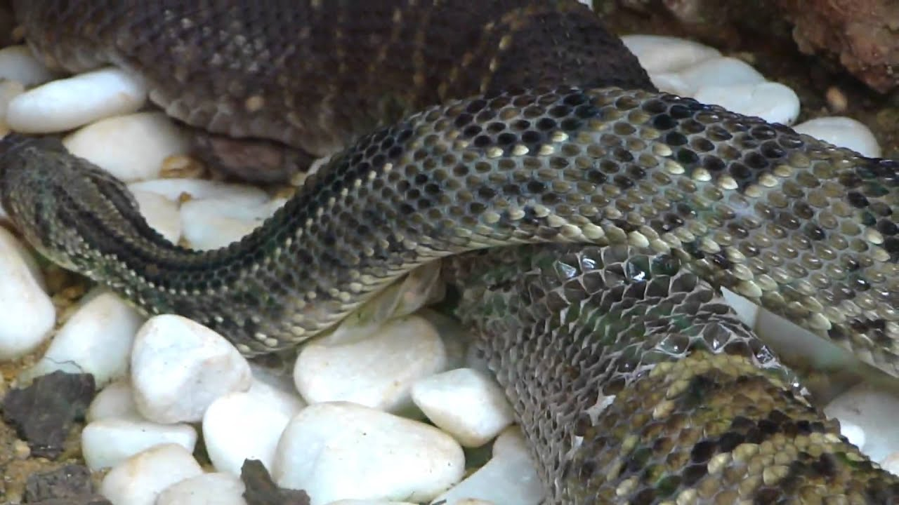 imagens de lagarto para colorir comendo cobra