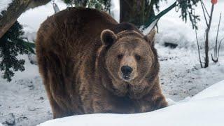 Как живут медведи в швейцарской глубинке?