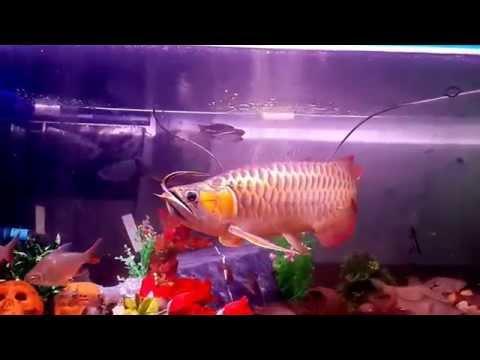 ปลามังกรแดงพาฝัน กินกระทิงไฟ ชารีฟ พาฝัน2