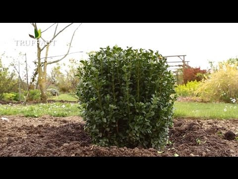 comment planter du buis jardinerie truffaut tv youtube. Black Bedroom Furniture Sets. Home Design Ideas