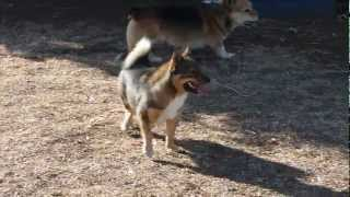 Swedish Vallhund Hermione And Corgi Dallas Wrestling
