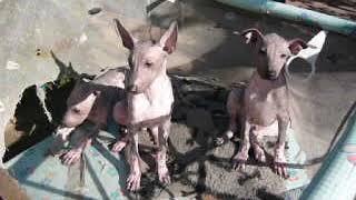 Мексиканская голая собака щенки стандартные