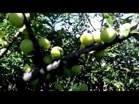 Саженцы сливы крупноплодные, продажа саженцев плодовых