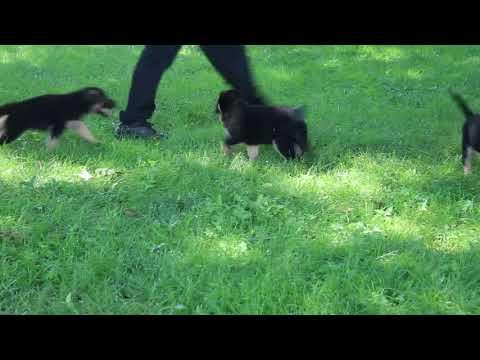German Shepherd Puppies For Sale Jacob Fisher