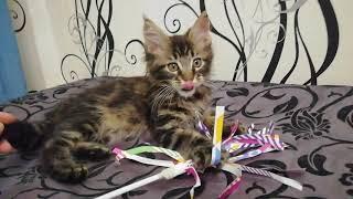 Черный мраморный мальчик котенок Мейн-кун 2,5 мес, в любимцы тк прокушено ушко