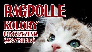 Wszystkie kolory i umaszczenia kotów rasy Ragdoll