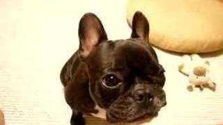 よく噛んで食べてます。 FrenchBulldog eating an apple. りんごおいし...
