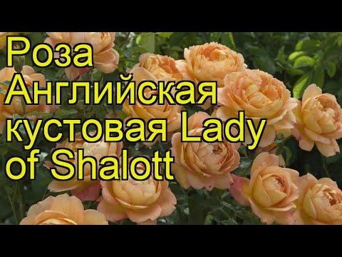 Роза английская кустовая Ледй оф Шалотт. Краткий обзор, описание характеристик, где купить саженцы