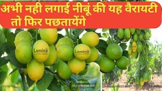 Lime farming || नींबू की सबसे बढ़िया वैरायटी की जानकारी || live demo