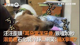 傑克羅素歪頭「耳朵當潔牙骨」狠嗑老爸20秒|寵物|狗