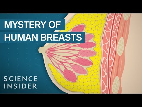 Why Human Breasts Are Unique