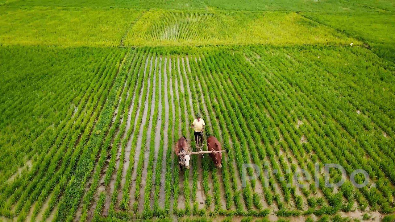 paddy crop duration