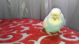 Наш новый питомец попугай Чех