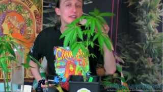 Autoflowering Cannabis Plants at 6 Weeks - Grow Weed Anywhere!