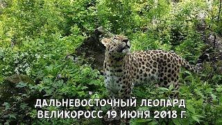 ДАЛЬНЕВОСТОЧНЫЙ ЛЕОПАРД ВЕЛИКОРОСС 19 ИЮНЯ 2018 Г.