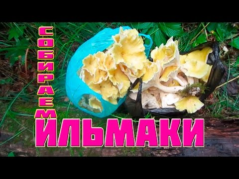 Грибы Ильмаки -  собираем в Приморском лесу в районе р.  Зеркальная.