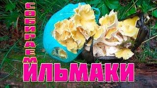 грибы Ильмаки -  собираем в Приморском лесу в районе р.  Зеркальная