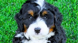 Bernedoodle - Top 10 Pro's and Cons of Owning a Bernedoodle