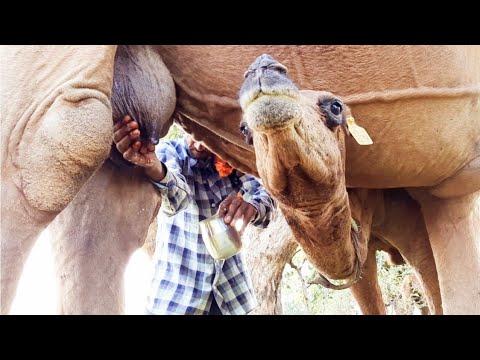 Camel Milking | Milk Taste Drinking | Camel Baby | Village Life Farm India | Camel Ride