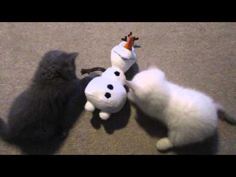 REALLY CUTE BRITISH SHORTHAIR KITTENS PLAYING!  | CHRIS & EVE