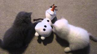 BRITISH SHORTHAIR KITTENS PLAY-FIGHTING WITH OLAF | CHRIS & EVE