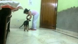 German Shepherd - 2 Months 25 Days Named - Bruno