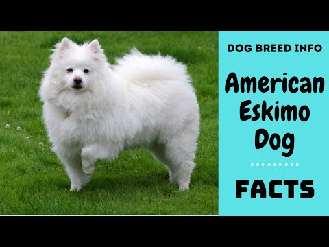 American Eskimo Dog breed. All breed characteristics and facts about American Eskimo dog